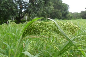 Proso millet - one of the most commonly found millets in the world.